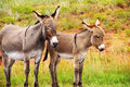 Mother and baby burro a at custer state park south dakota Royalty Free Stock Photography