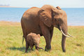 Mother and Baby Elephant standing on the shoreline in Lake Kariba Royalty Free Stock Photo