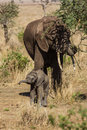 Mother and baby elephants in serengeti national park tanzania Stock Images