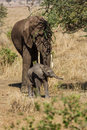 Mother and baby elephants in serengeti national park tanzania Royalty Free Stock Images