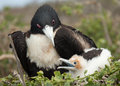 Mother and Baby Frigate Birds Royalty Free Stock Photo