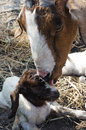 Mother and baby goats Royalty Free Stock Images