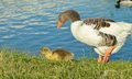 Mother and baby goose walking near lake Royalty Free Stock Photography