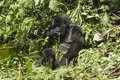 Mother and baby gorilla Stock Photography