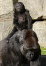 Mother and Baby Gorilla (Western Lowland Gorilla) Royalty Free Stock Photo