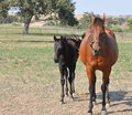 Mother and baby horse walking Stock Photo