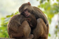 Mother and Baby Macaque - Monkey Royalty Free Stock Photo