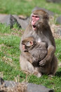 Mother and baby macaque snow monkey s playing in the sun Stock Images