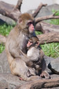 Mother and baby macaque snow monkey s playing in the sun Royalty Free Stock Images