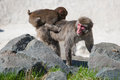 Mother and baby macaque snow monkey s playing in the sun Royalty Free Stock Photos