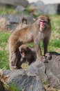 Mother and baby macaque snow monkey s in soft focus playing the sun Stock Photography