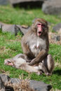 Mother and baby macaque snow monkey s in soft focus playing the sun Stock Photos
