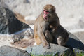 Mother and baby macaque snow monkey s in soft focus playing the sun Royalty Free Stock Photos