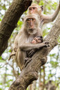 Mother and baby monkey in thailand Royalty Free Stock Images