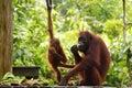 Mother and baby orangutans rehabilitation Borneo, Malaysia Royalty Free Stock Photo