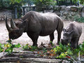 Mother and baby rhinoceros eating leaves Stock Images