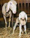 Mother and baby sheep standing in barn Stock Image