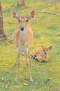 Mother and baby sika deer are resting deer when the weather is hot Royalty Free Stock Image