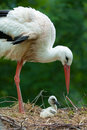 Mother and baby stork Stock Images