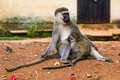 Mother and baby vervet monkeys uganda feeding time for the monkey in a park close to lake victoria in entebbe the are non captive Royalty Free Stock Photo