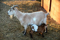 Mother billy goat with kid lactating in late afternoon Stock Images