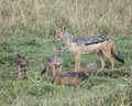 Mother black-backed jackal standing with three cubs Royalty Free Stock Photo