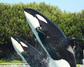 A Mother and Calf Orca Breach Stock Photo