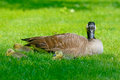 Mother canada goose with babies watches for her Royalty Free Stock Image