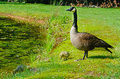 Mother canada goose with babies watches for her Stock Image