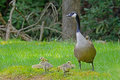 Mother canada goose with babies watches for her Royalty Free Stock Images