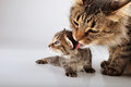 Mother cat cares of her days old kitten studio shot Royalty Free Stock Image