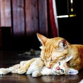 Mother cat cleans her kitten soft focus a ginger is cleaning baby Royalty Free Stock Images