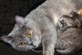 Mother cat feed newborn kittens.