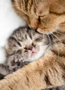 Mother cat hugging kitten Royalty Free Stock Photo