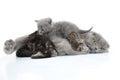 Mother cat milk feeding her kittens Royalty Free Stock Photo
