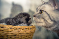 Mother cat with a small kitten. Basket Royalty Free Stock Photo