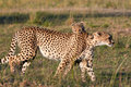 Mother cheetah and her cub Royalty Free Stock Photo