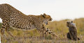 Mother cheetah and her cub in the savannah. Kenya. Tanzania. Africa. National Park. Serengeti. Maasai Mara. Royalty Free Stock Photo