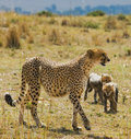 Mother cheetah and her cubs in the savannah. Kenya. Tanzania. Africa. National Park. Serengeti. Maasai Mara. Royalty Free Stock Photo