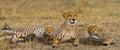 Mother cheetah and her cubs in the savannah. Kenya. Tanzania. Africa. National Park. Serengeti. Maasai Mara. Royalty Free Stock Photo
