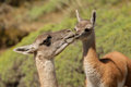 Mother and child adult female guanaco caring for bonding with its baby Royalty Free Stock Photo