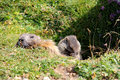 Mother and child adult little marmot at the entrance of their hole Stock Images