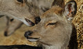 Mother and child the japaneese sika deer doe is petting her young awesome Stock Photography