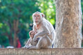 Mother Crab-eating macaque feeding her baby on concrete fence in Royalty Free Stock Photo