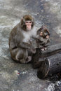 Mother and cub of a japanese macaque Stock Image