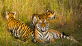 Mother and cub wild Bengal tiger in the grass. India. Bandhavgarh National Park. Madhya Pradesh.