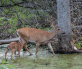 Mother Deer and Fawn Royalty Free Stock Photo