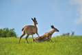 Mother deer pushes her doe down the or fawn to the ground Royalty Free Stock Photos