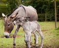Mother donkey with foal Royalty Free Stock Photo