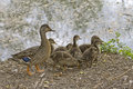 Mother Duck and Babies Stock Images
